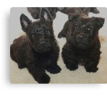 Scottish Terrier Pups Canvas Print