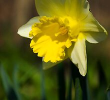 Daffodil by Jamie Kirschner
