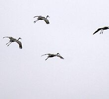 Cranes Flying 4 by rdshaw