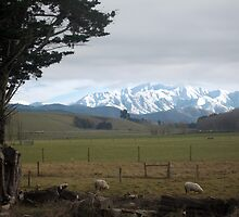 Sheep in New Zealand by Cheryl Parkes