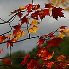 Red Maple by Wayne King