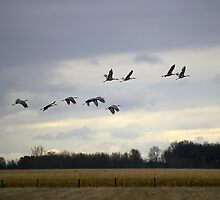 Migrating Cranes 3 by rdshaw
