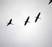 Cranes Flying 18 by rdshaw