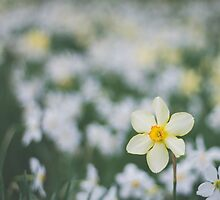 Yellow Narcissus by Bethany Helzer