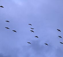 Cranes Flying 20 by rdshaw