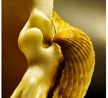 Shell series. Number 2 Photographic Print