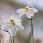 White Narcissus by Bethany Helzer