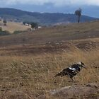 Magpie in in Drought Pasture. by vixstix