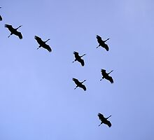 Cranes Flying 21 by rdshaw