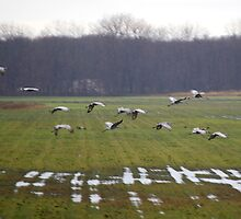 Cranes Landing 2 by rdshaw