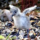 Swallow-tailed Gull Fledgling: A World to Explore by Laurel Talabere