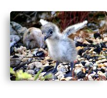 Swallow-tailed Gull Fledgling: A World to Explore Canvas Print