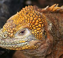 Land Iguana on Santa Cruz by Laurel Talabere