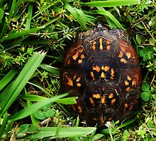 Box Turtle by alissasanderson