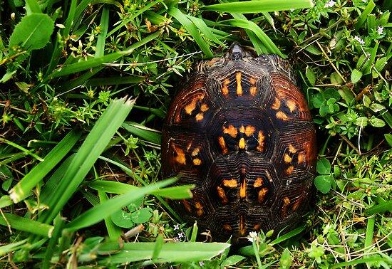 Box Turtle by alissasanderson