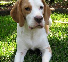 Daisy - Beagle by SeaMonKeY69