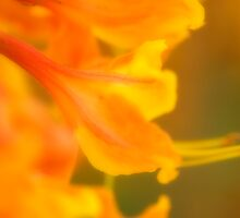 Orange Azaleas by Marcus Taylor