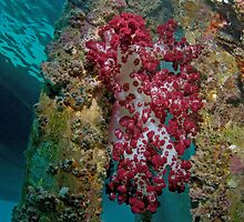 Soft corals on wooden jetty  by Stephen Colquitt