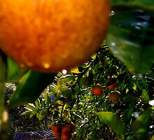 Orange tree after the rain by ♥⊱ B. Randi Bailey