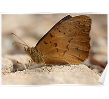 Common Brown Butterfly Poster