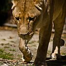lioness by mickeyb