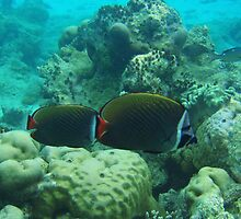 Red-tailed butterfly fishes by presbi