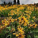 Idaho Arrowleaf Balsomroot by Nolan Nitschke