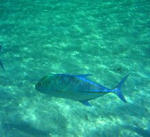 Bluefin trevally by presbi