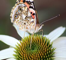 Painted Lady Butterfly by David Hopkins