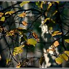 Birch Tangle by Wayne King
