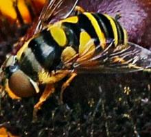 Bee Duet Sticker
