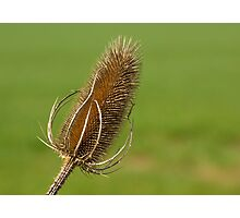 Dried Thistle. Photographic Print
