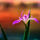 Water Iris at Sunset by Darlene Lankford Honeycutt