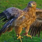 Falconry by Rebecca Silverman