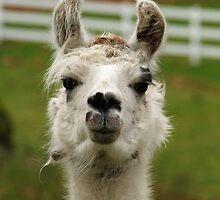 Llama Portrait by Jack McCallum