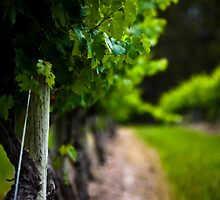The Grape Vine by David Petranker