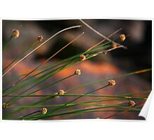 Native Grass, Copacabana Poster