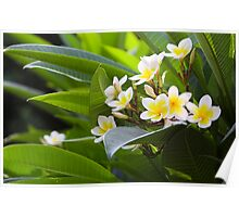 Golden White Native  Frangipani in Taiwan Poster