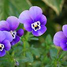 Violas by Julie Sherlock