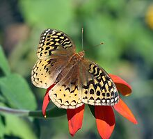 Great-Spangled Fritillary by drknuth