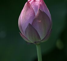 Red Scarf Lotus Bud by MaupinPhoto