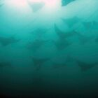 Eagle Rays - Costa Rica by Dave Mortell