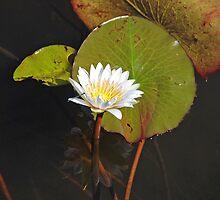 Water Lily, Okavango Delta, Botswana, Africa by Adrian Paul