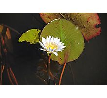 Water Lily, Okavango Delta, Botswana, Africa Photographic Print