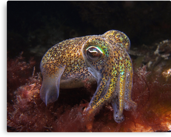 Dumpling Squid. by James Peake Nature Photography.