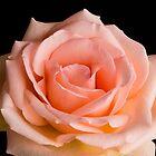 Peach Rose by Kenneth Keifer