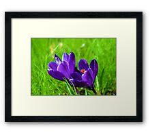 Prelude to Spring; Purple Crocus Framed Print