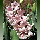 Easter Card with Pretty-in-Pink Hyacinth by BlueMoonRose