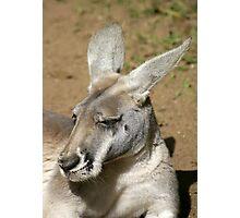 Kangaroo Portrait Photographic Print