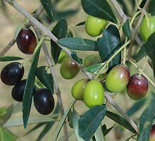 Olive Branch by Sue Ellen Thompson
